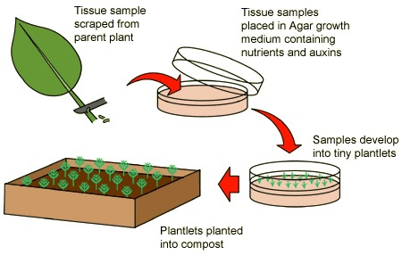 Steps In Plant Tissue Culture