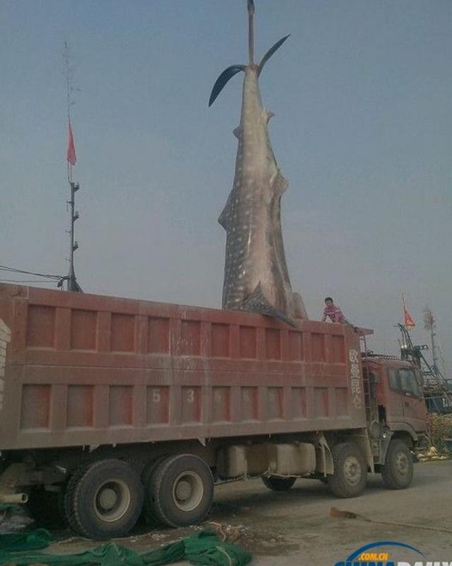 massive-shark4