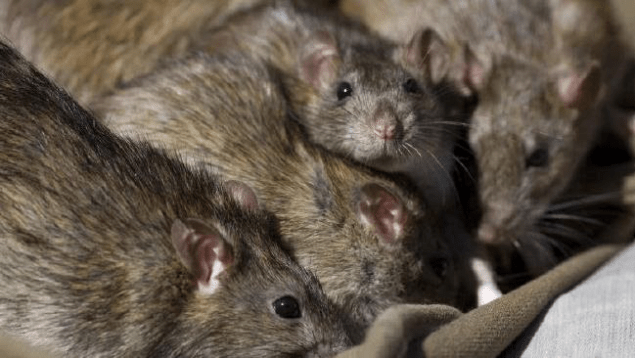 Pack o' Rats