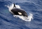 Killer whales (Orcinus orca) seen at Bremer Canyon, Western Australia. Image taken under scientific permit.