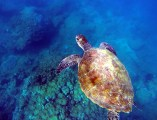 Sea turtles are everywhere and a joy to see out in the field at Ningaloo Reef.