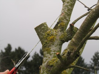 Cutting close to the branch collar