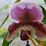 Paphiopedilum hybride - orchidee 60