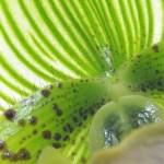 Paphiopedilum maudiae sukhakulli - orchidee 60 - macro