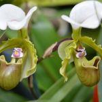 Paphiopedilum spicerianum - orchidee 60