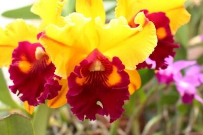 Cattleya - orchidée 60