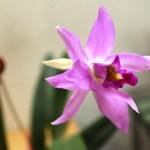 Laelia Anceps - orchidee 60