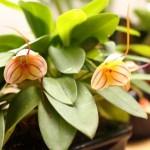 Masdevalia - orchidée 60