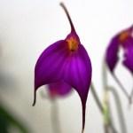 Masdevallia amabilis - orchidée 60