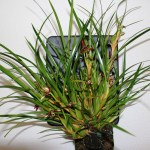 Maxilaria tenuifolia - orchidée 60