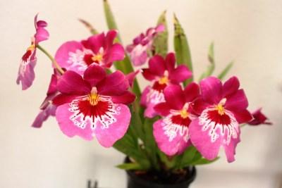 Miltonia - orchidée 60