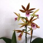 Phaius wallichii - orchidée 60