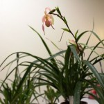 Phragmipedium - orchidée 60