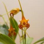 Masdevallia norops - orchidée 60