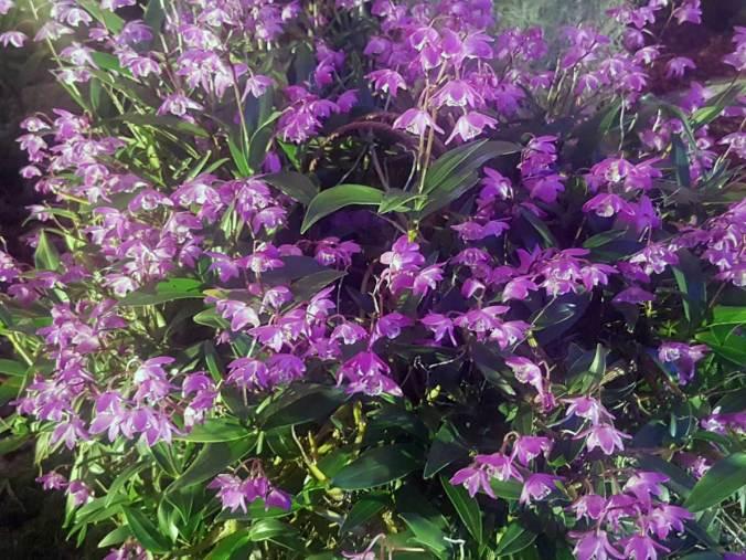 """Dendrobium Kingianum """"Berry Oda"""""""