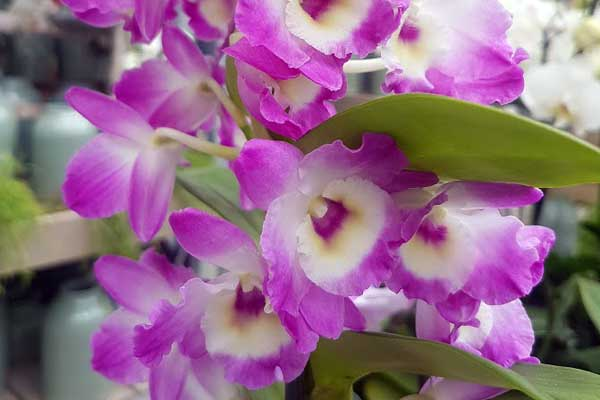 Dendrobium Nobile - große pinkfarbene Blüten