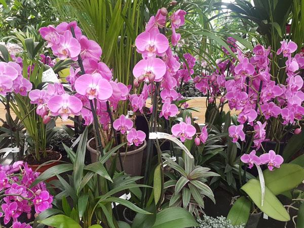 Viele rosafarbene Phalaenopsis Hybriden