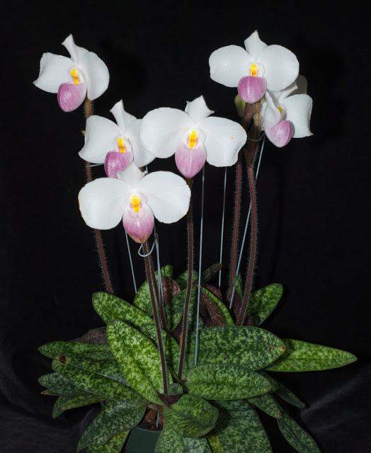 Paphiopedilum Jungpflanzen kaufen