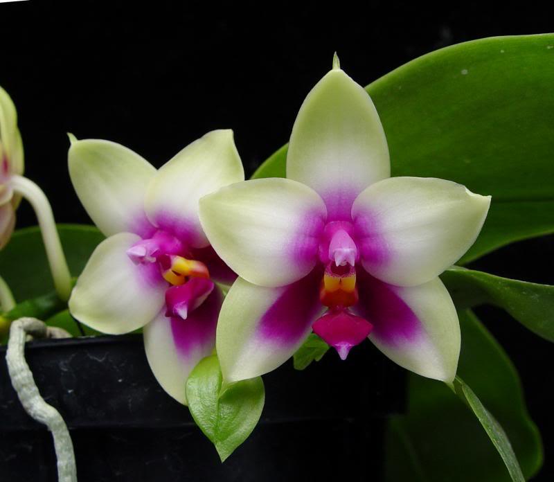 Phalaenopsis bellina Jungpflanze