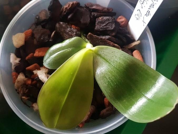 Phalaenopsis LD's Giga King (RK3)