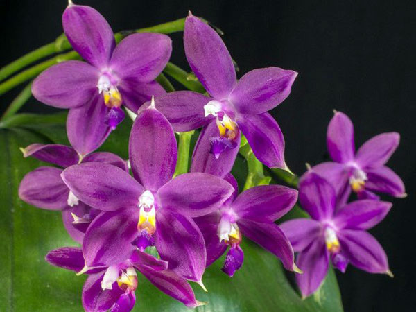 Phalaenopsis Jungpflanzen
