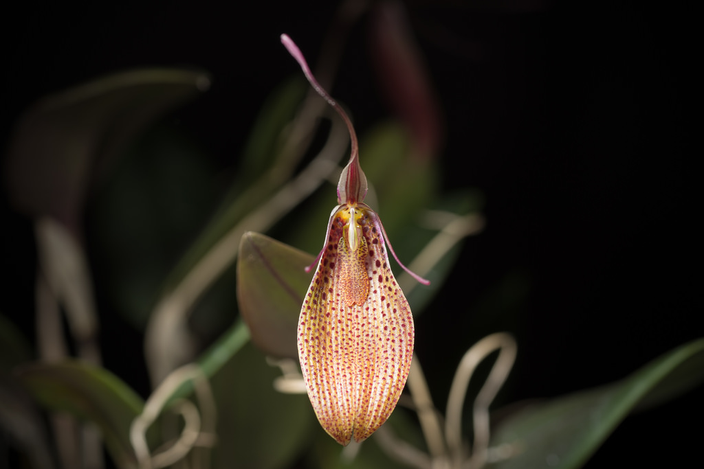 I Like Being Me - Restrepia guttalata & a piece of a granite mountain