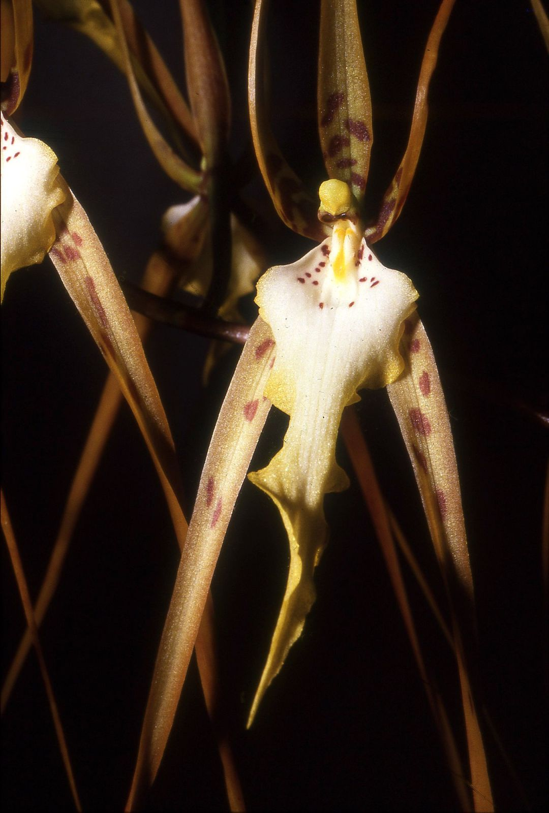 Defining Edges - Brassia arcuigera