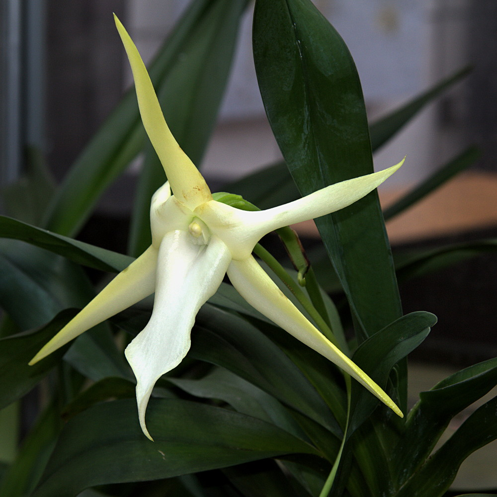 Reading Energy Fields - Angraecum sesquipedale