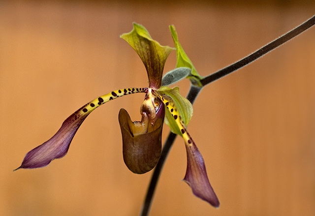 Balancing Extremes - Paphiopedilum lowii