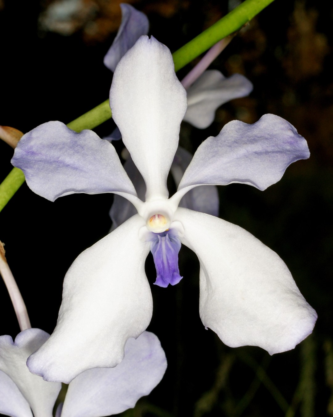 Dance Of Creation - Vanda coerulea