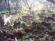 Winter orchids: Linguella sp. Hills nana, Urochilus sanguineus
