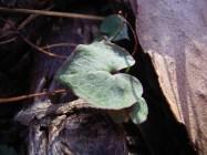 Nemacianthus caudatus Mayfly Orchid