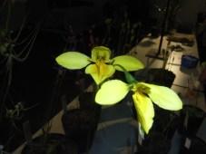 orchids 019