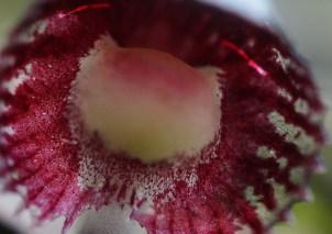Corysanthese dieminica