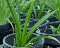 Tolumina plant