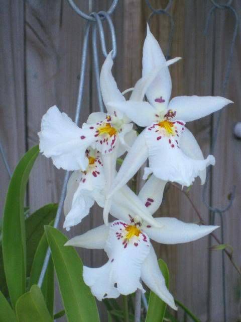 Degarmoara Winter Wonderland 'White Fairy'