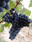 Orcia Sangiovese