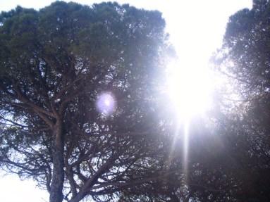 Bosque de pino piñonero