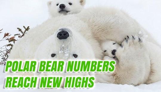 Polar Bear Numbers Reach New Highs