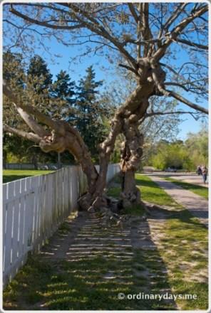 Williamsburg tree