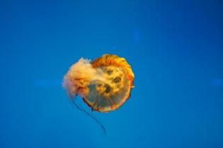 Orange jellyfish in Baltimore Aquarium