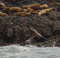 Sea Lions 3