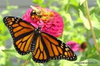 Labor Day Monarch Release