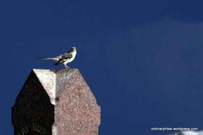 Cemetary Mockingbird