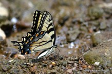 Eastern Tiger Swallowtail, Tuscarawas River Zoar, Tuscarawas River by Zoar