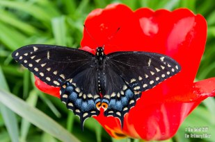 Over-wintered Black Eastern Swallowtail