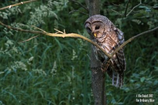 Young Barred Owl on the Hunt