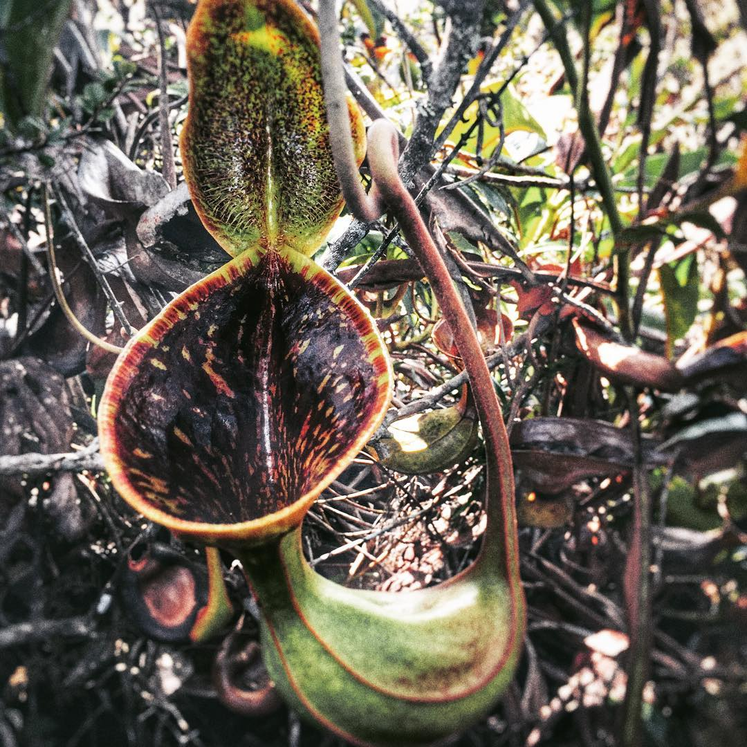 "This one's really bizarre: introducing the toilet bowl Nepenthes or Nepenthes lowii. It attracts birds and insects with the nectar it secretes from the hairs lining the lid of its pitcher. As the animals feed on this sweet honey, they perch on the substantial lip of the pitcher and poop into it. These droppings, rather than the insect/bird itself, are the preferred diet of the plant, hence the name ""toilet bowl."" Image from Instagram @the_tropicalist_"