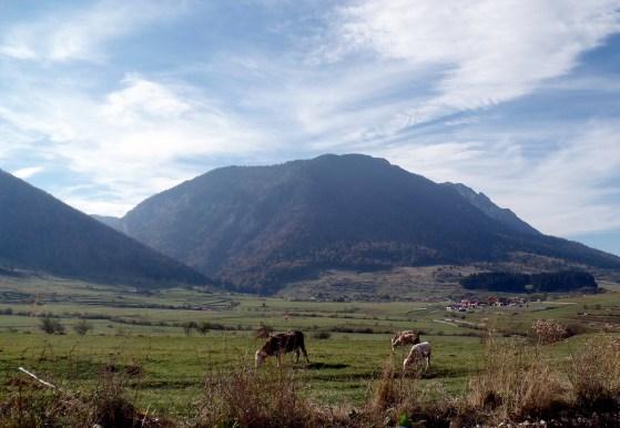 Wandering livestock