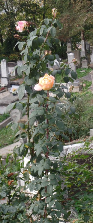 Roses in bloom in late October in Romania. I am not a gardener, but this seemed sort of interesting...